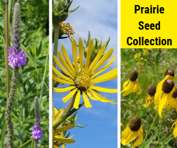Prairie Seed Collection.  Photo shows flowers found in the prairie at Crossridge Park.